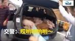 Bất ngờ với những chú lợn con trong khoang hành lý của tài xế Trung Quốc