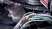 Đây là nguyên nhân thực sự khiến chuột hay cắn dây điện trong ô tô