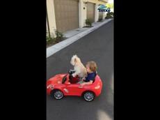 Chú chó lái xe hơi đồ chơi cùng cậu chủ nhỏ