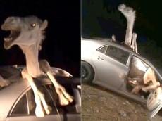 Video lạc đà bị mắc kẹt bên trong chiếc Toyota Corolla được lan truyền chóng mặt trên mạng