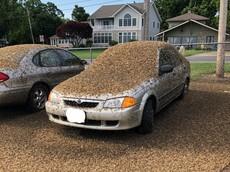 Nổi da gà trước hình ảnh chiếc Mazda bị bao phủ bởi hàng nghìn nghìn con phù du