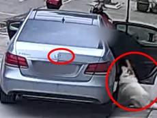 Doanh nhân lái xe sang Mercedes-Benz E-Class đi trộm chó Samoyed