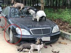 """Mercedes-Benz S350 biển Hà Nội bị chủ """"bỏ rơi"""" vô tình làm chỗ tá túc cho đàn dê"""