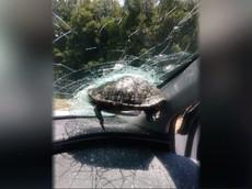 """""""Ninja Rùa biết bay"""" làm vỡ kính lái xe ô tô khiến người ngồi trong xe khiếp đảm"""