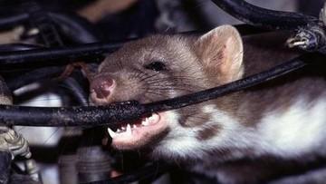 Biện pháp chống chuột hiệu quả trong khoang máy ô tô