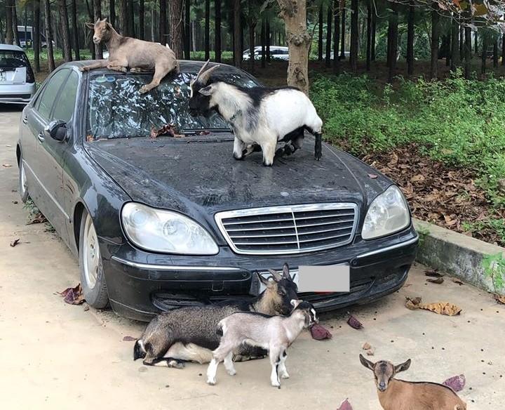 Mercedes-Benz S350 biển Hà Nội bị chủ bỏ rơi vô tình làm chỗ tá túc cho đàn dê