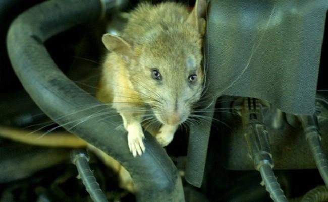 Chuột trong khoang máy là vấn đề khiến nhiều người dùng ô tô đau đầu