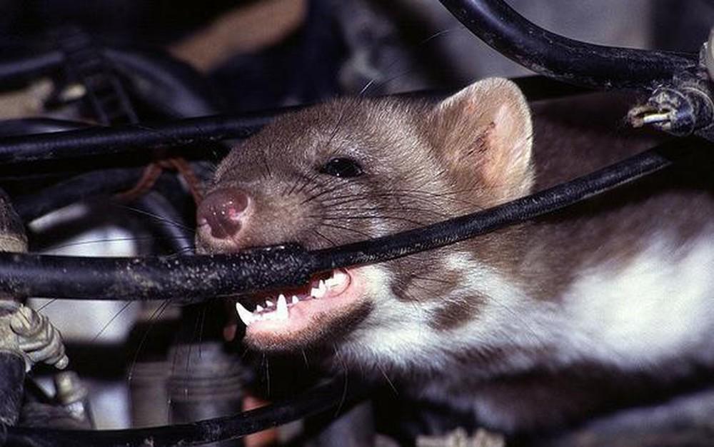 Dây điện trong ô tô có vẻ là món ăn yêu thích của chuột