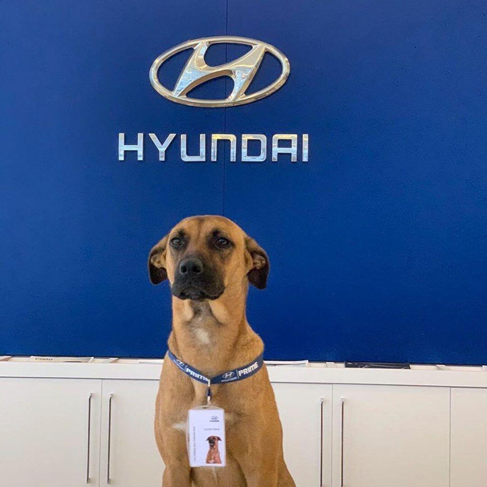 Nhân viên 4 chân của đại lý ô tô Hyundai