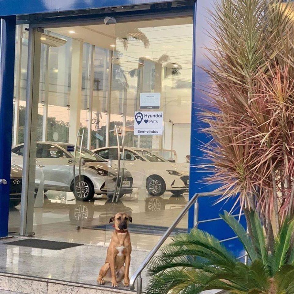 Chú chó ngày ngày ngồi ngoài đại lý ô tô Hyundai nên được thuê làm nhân viên