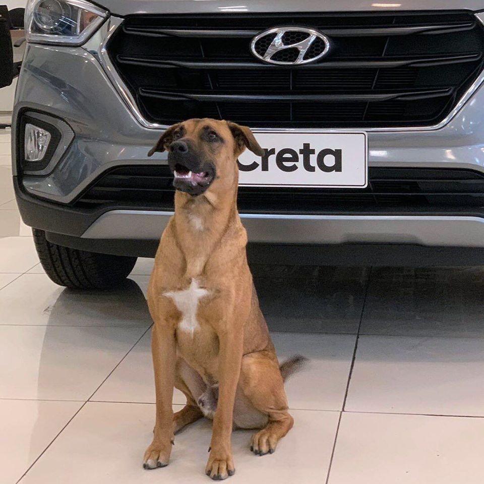 Chú chó chụp ảnh bên chiếc ô tô Hyundai Creta trong đại lý
