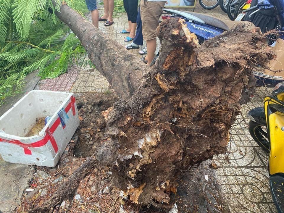Cây phượng bật gốc sau những cơn mưa liên tục tại TP Hồ Chí Minh