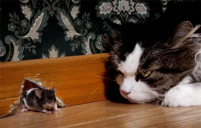 Nuôi mèo cũng là phương pháp phòng chống chuột hiệu quả, nhưng hay phải bọc lại yên xe