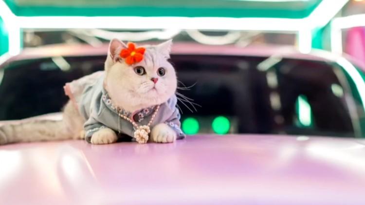 Hình ảnh mèo Mao Mao làm mẫu trên xe